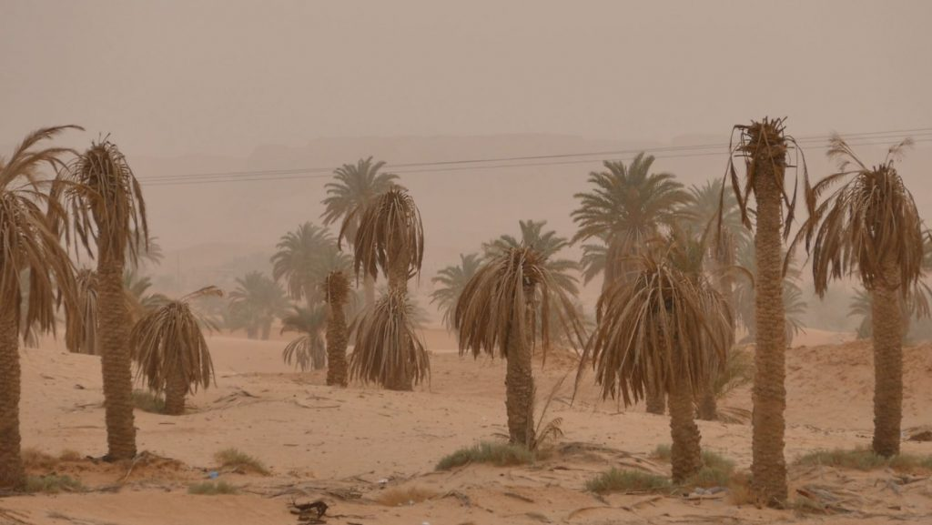 AL – Declining palm trees in parts of the traditional Ouargla oasis